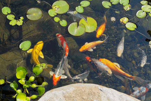 пруд с рыбками на участке